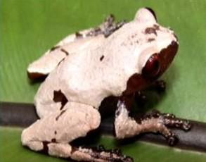 Nový živočišný druh žáby z povodí Mekongu