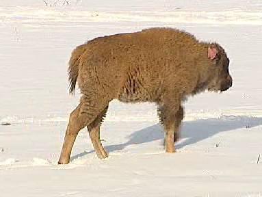 Mládě bizona