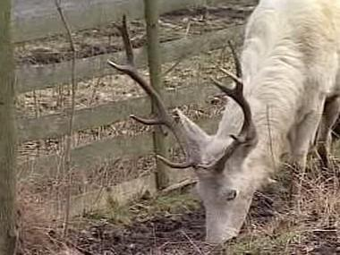 Bílý jelen
