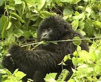 Mládě gorily