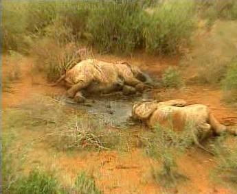 Mrtví afričtí sloni