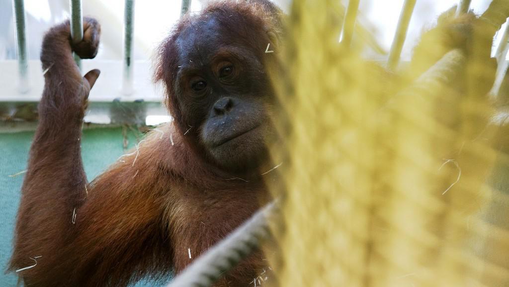 Orangutan sumaterský