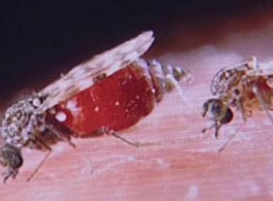 Tiplík rodu Culicoides