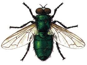 Bzučivka zelená, muší chirurg