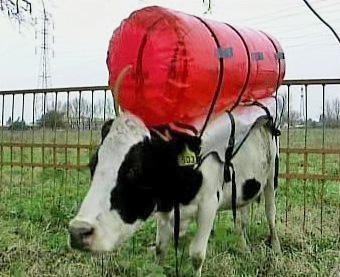 Kráva s baťužkem zachycujícím plyny