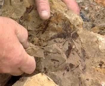 Zkamenělá rostlina