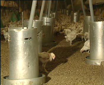 Kuřata v drůbežárně