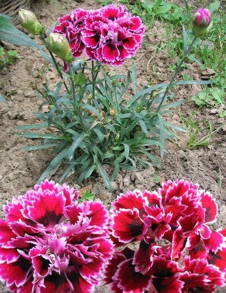 Květinou Dne matek je červený karafiát