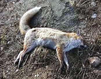Otrávená liška