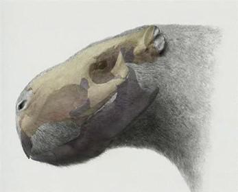 Lebka hlodavce nalezená v Uruguayi