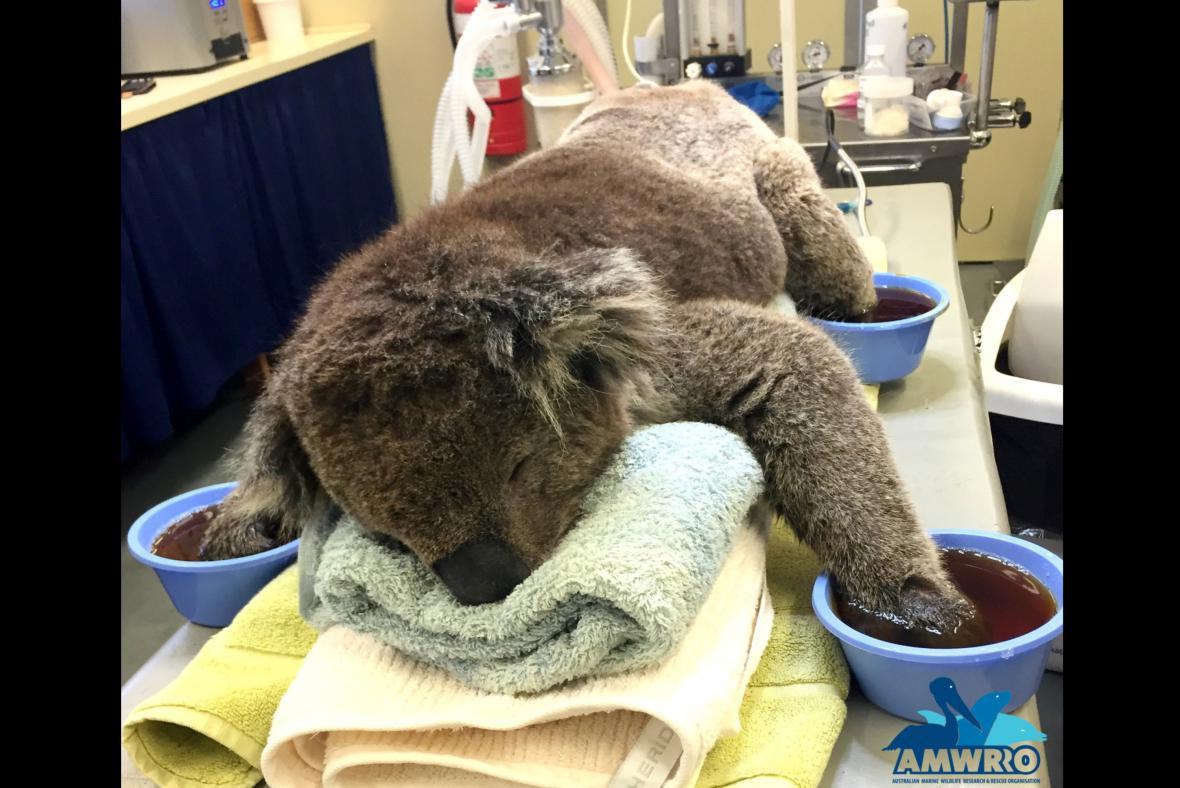 Koala Jeremy