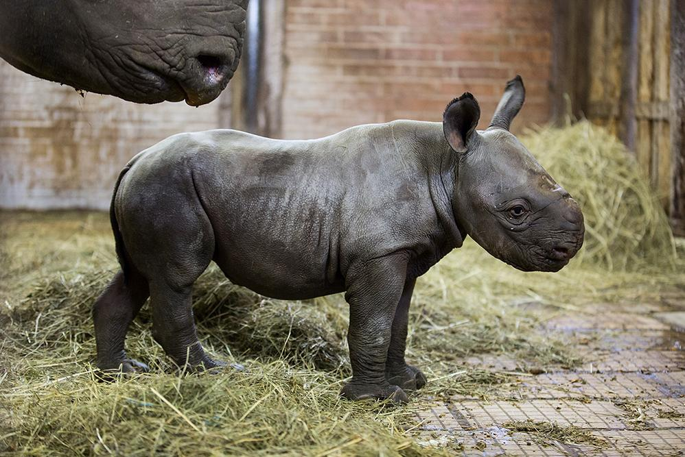 Malý sameček nosorožce dvourohého černého