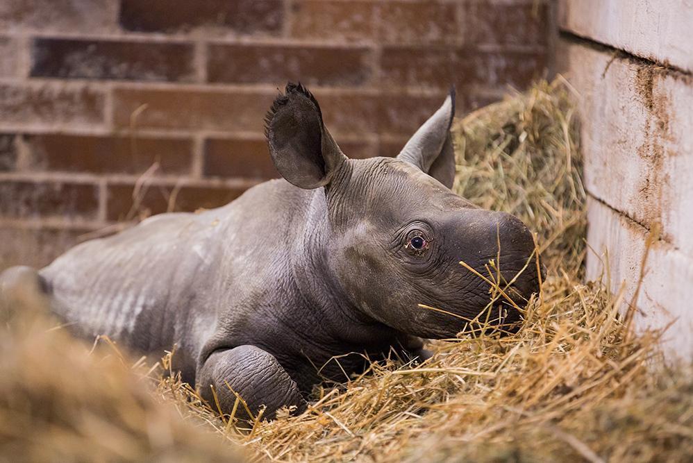 Malá samička nosorožce dvourohého černého