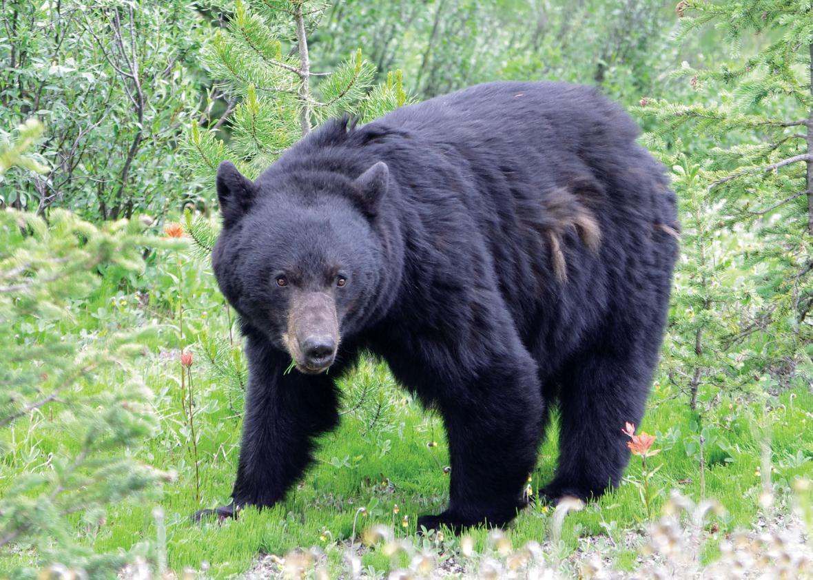 Medvěd na fotografii Vladimíra Prachaře