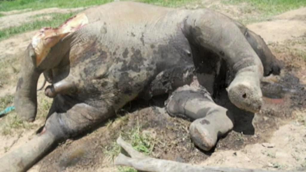 Afričtí sloni se často stávají obětí pytláků