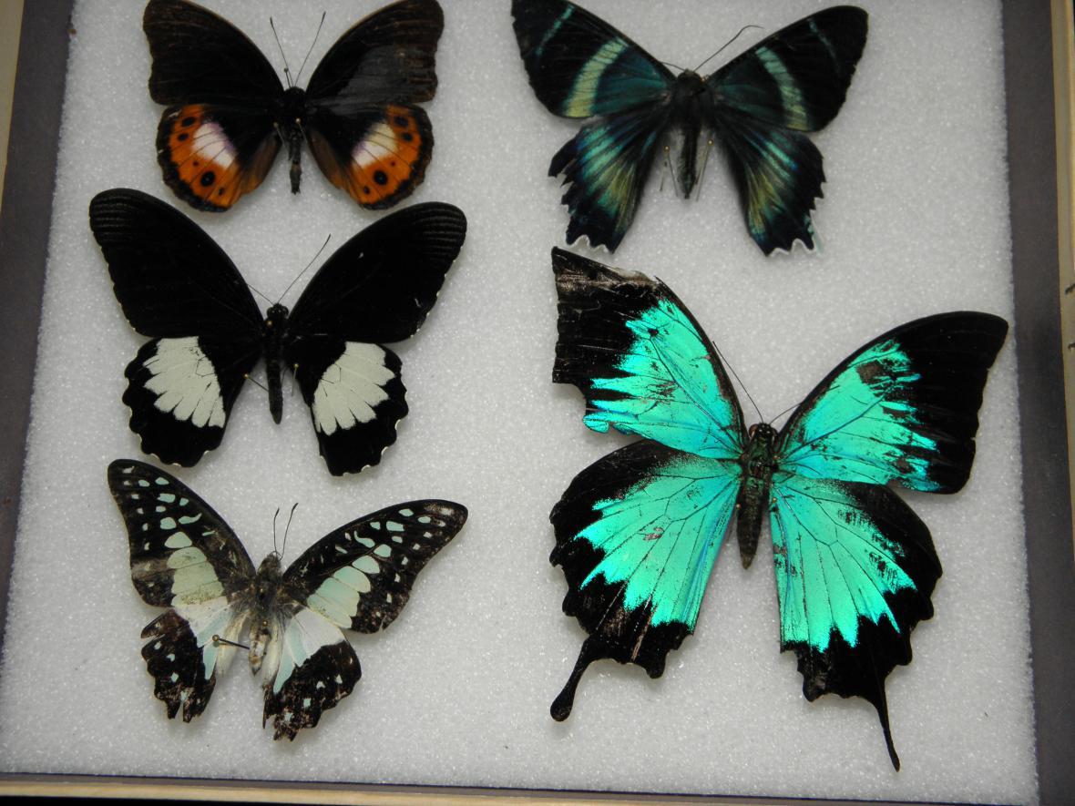 Motýli, které zachytili středočeští celníci