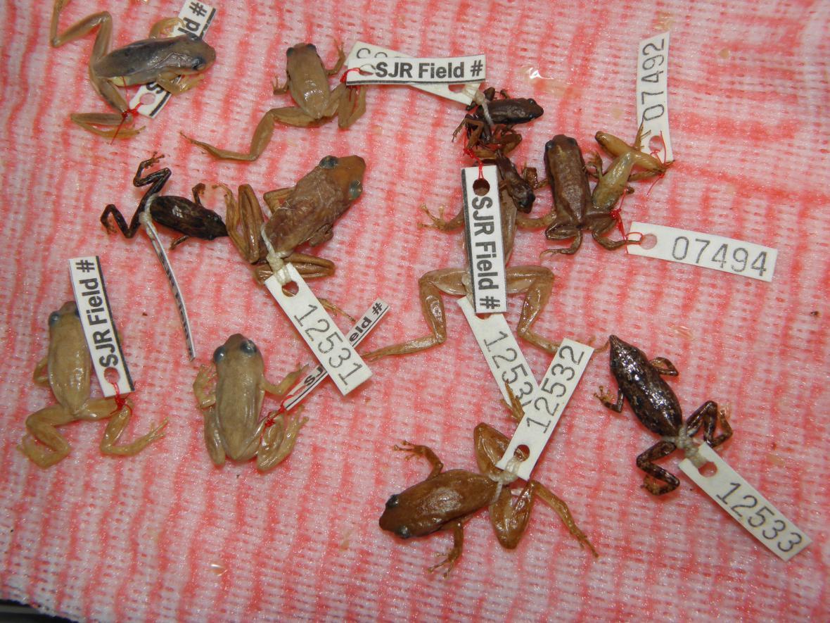 Žáby, které zachytili středočeští celníci
