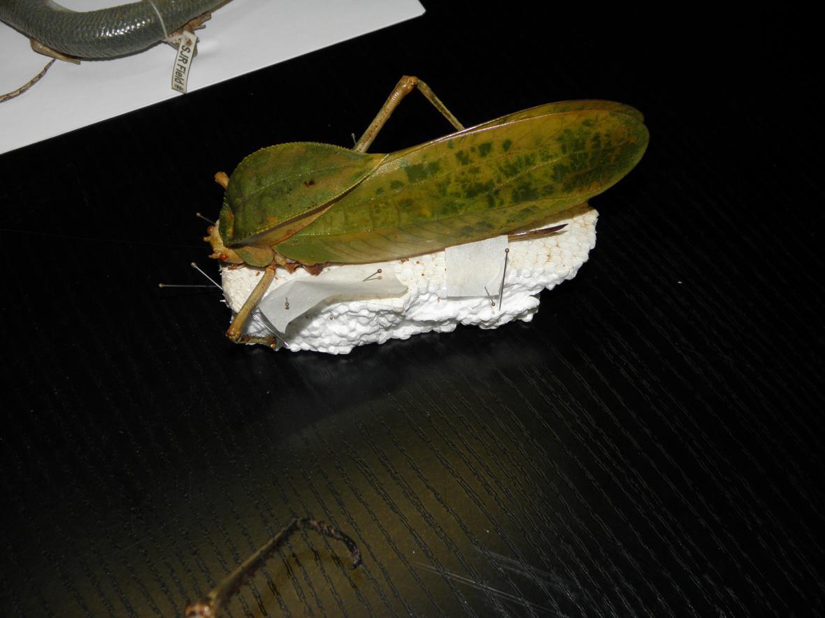 Exemplář hmyzu, který zachytili celníci