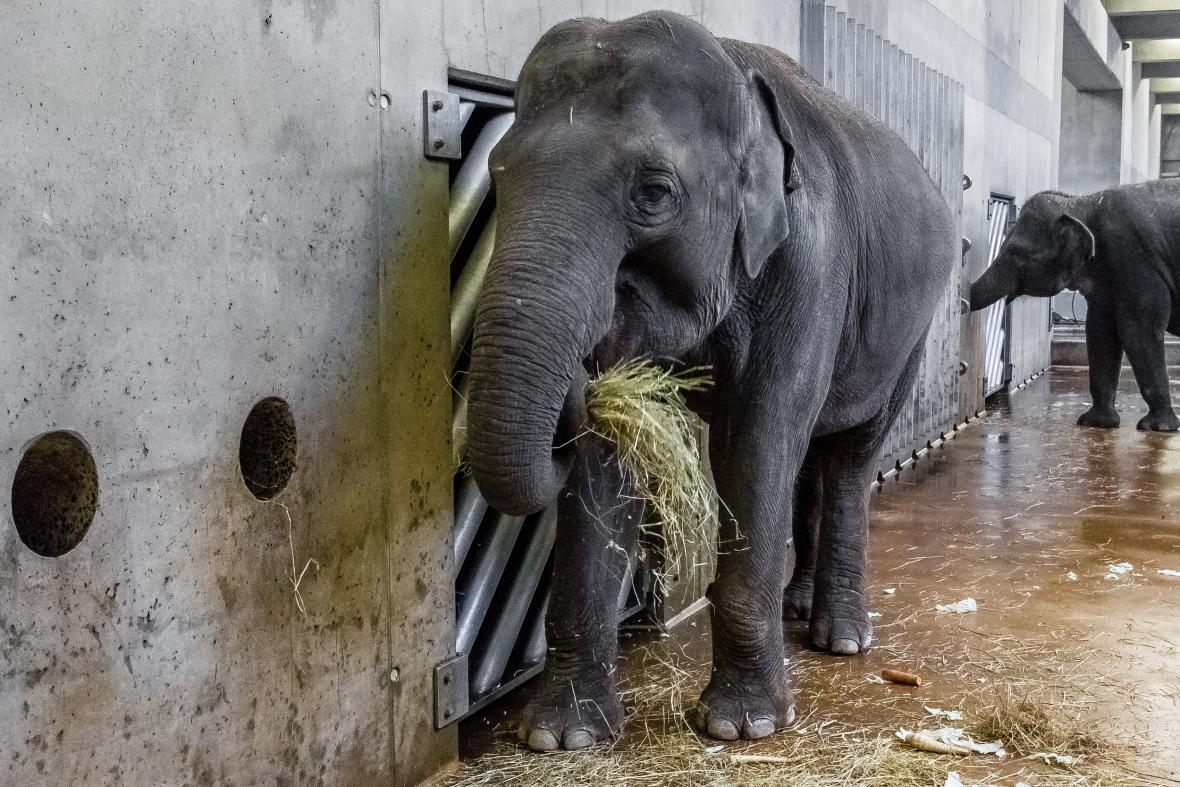 Slonice Janita z pražské zoo