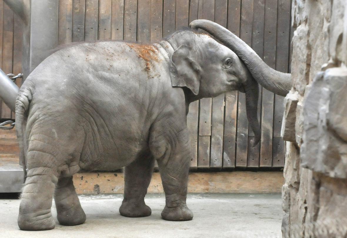 Ostravská sloní samička