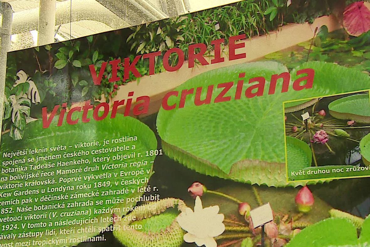 Tropický leknín je největší vzácností brněnské botanické zahrady
