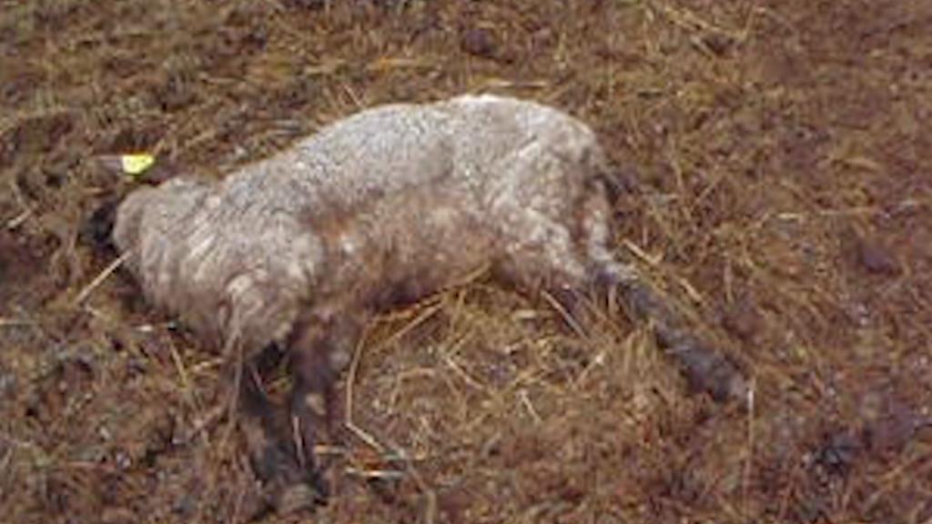Uhynulá ovce na farmě Miloše Švece