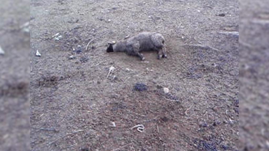 Policejní záběr uhynulé ovce