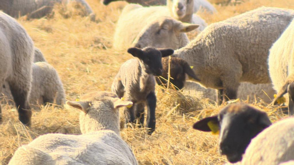 Ovce na farmě v Bělči nad Orlicí