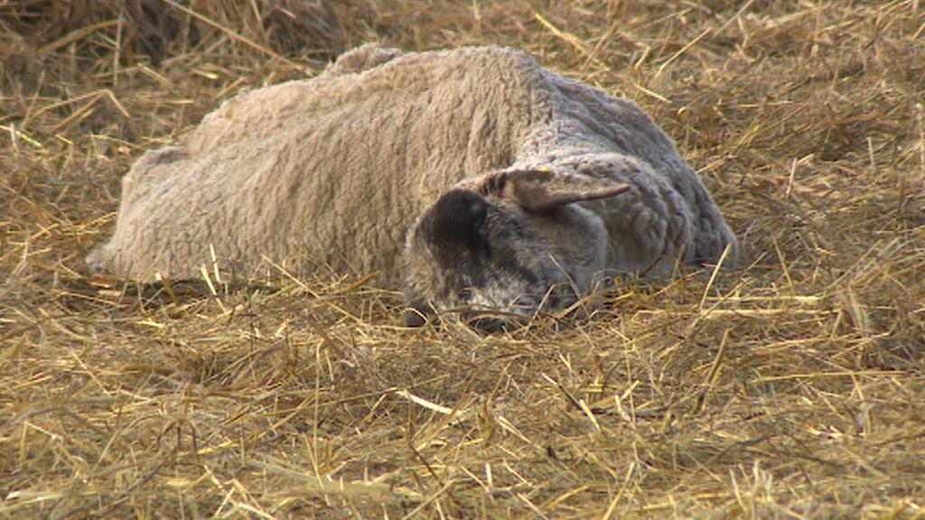 Uhynulá ovce, kterou dnes na farmě objevil štáb ČT
