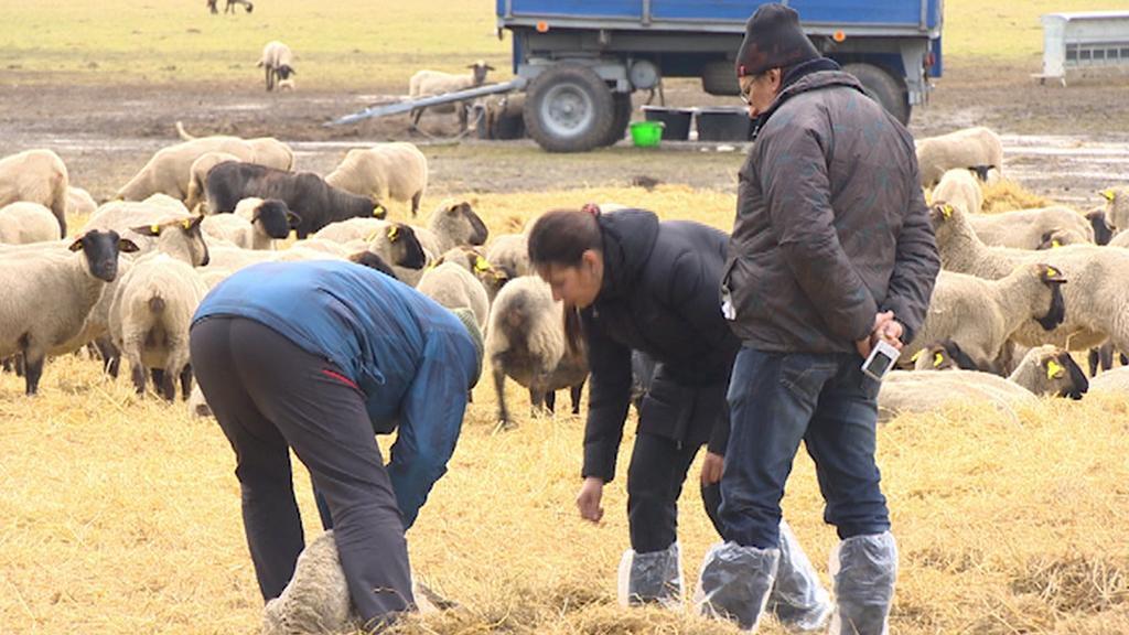 Veterináři zkoumají uhynulou ovci