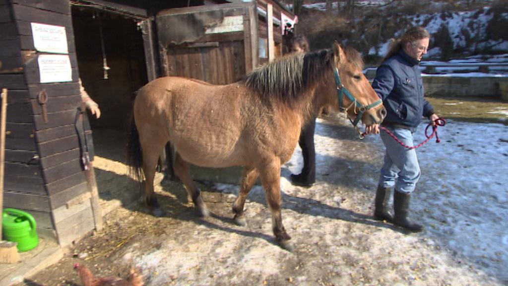 Chovatelé museli koně zvednout a chodit s ním