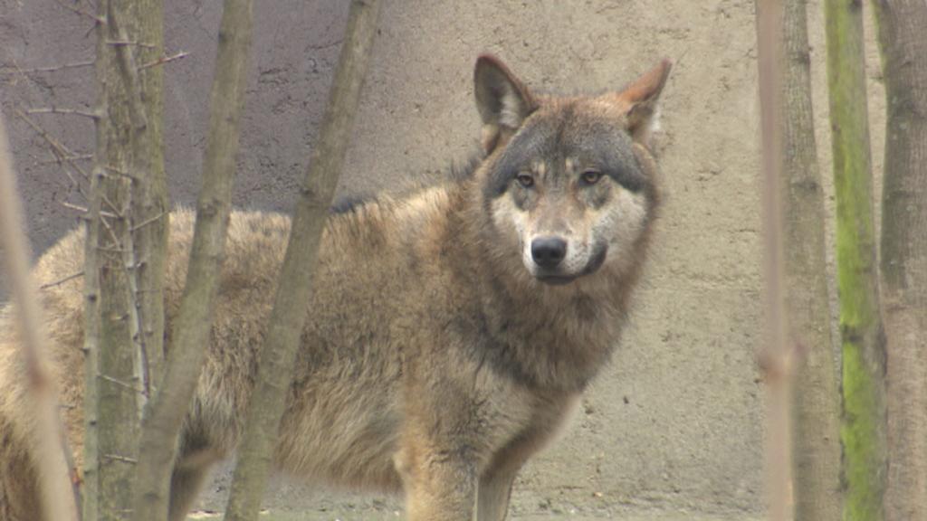 Na Šumavu se vrací vlci