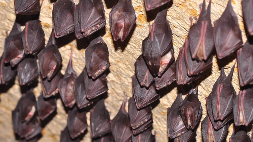 Kolonie netopýrů na hradě