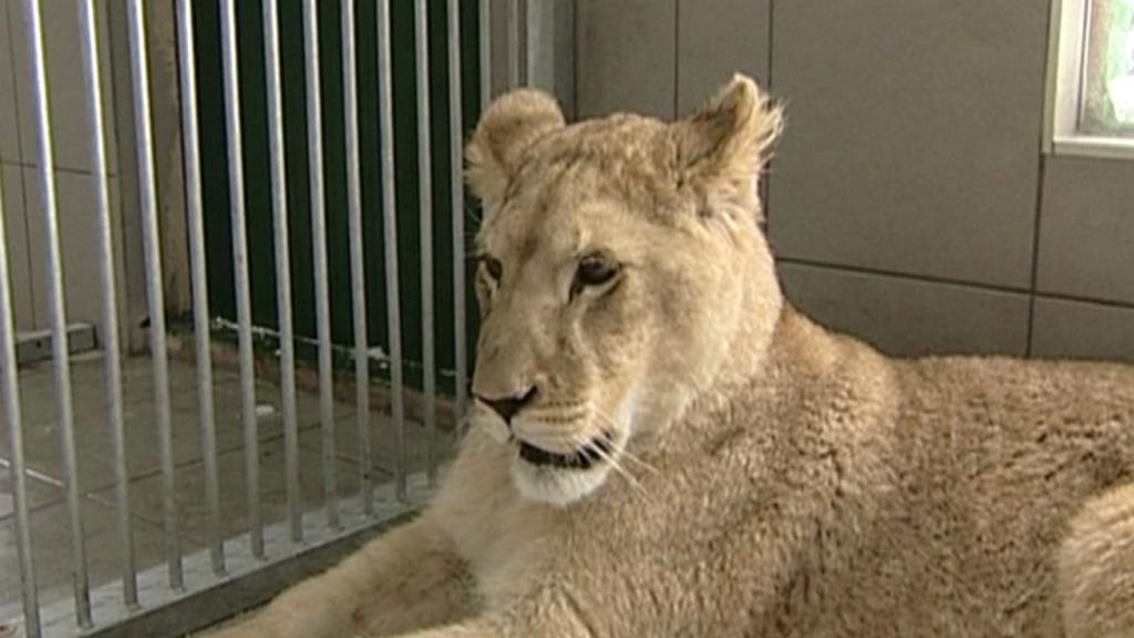 Lvice v táborské zoo