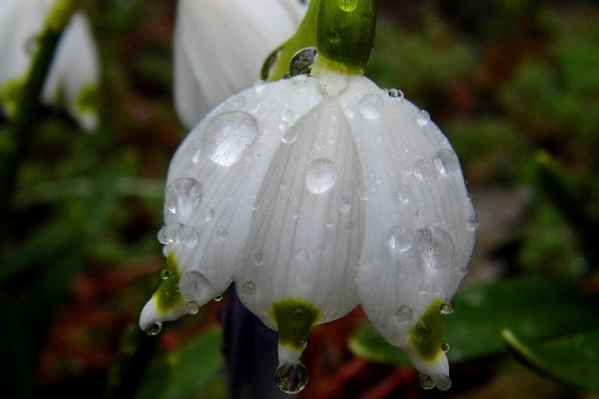 Bledule pod kapkami deště