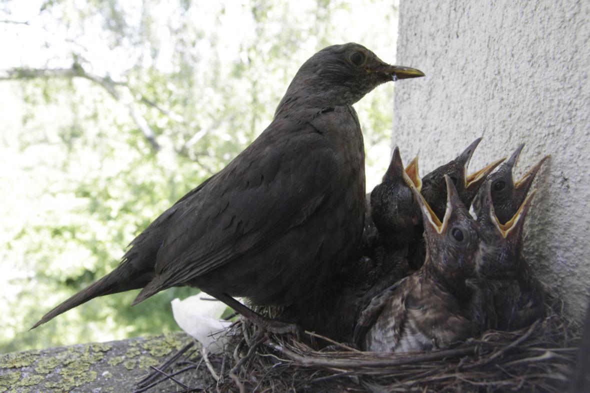 Kos černý s mláďaty