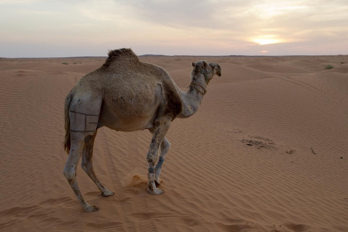 Tunis: Sám na poušti s velbloudem