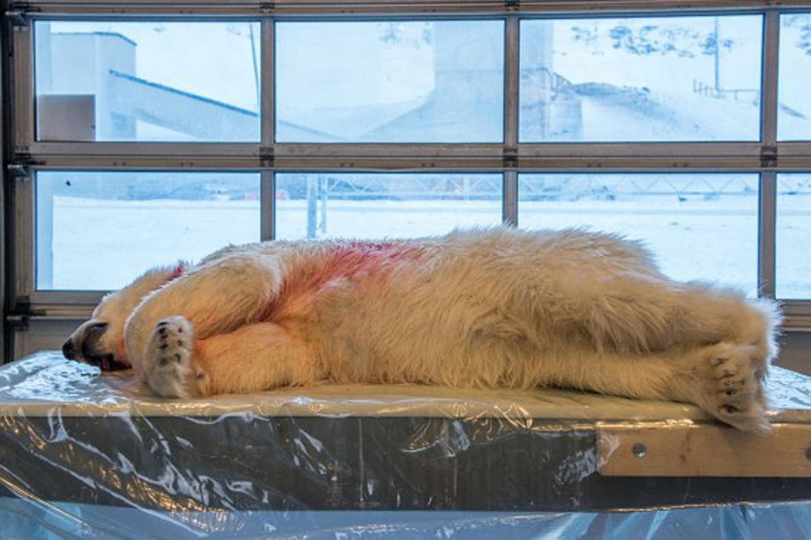 Lední medvěd zaplatil útok na českého cestovatele životem