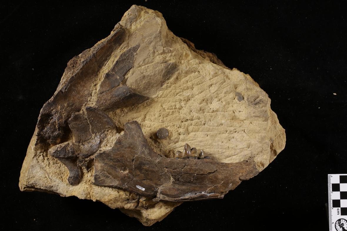 Dolní čelist šelmy rodu Tomocyon z neogénní (mladotřetihorní) lokality Tuchořice