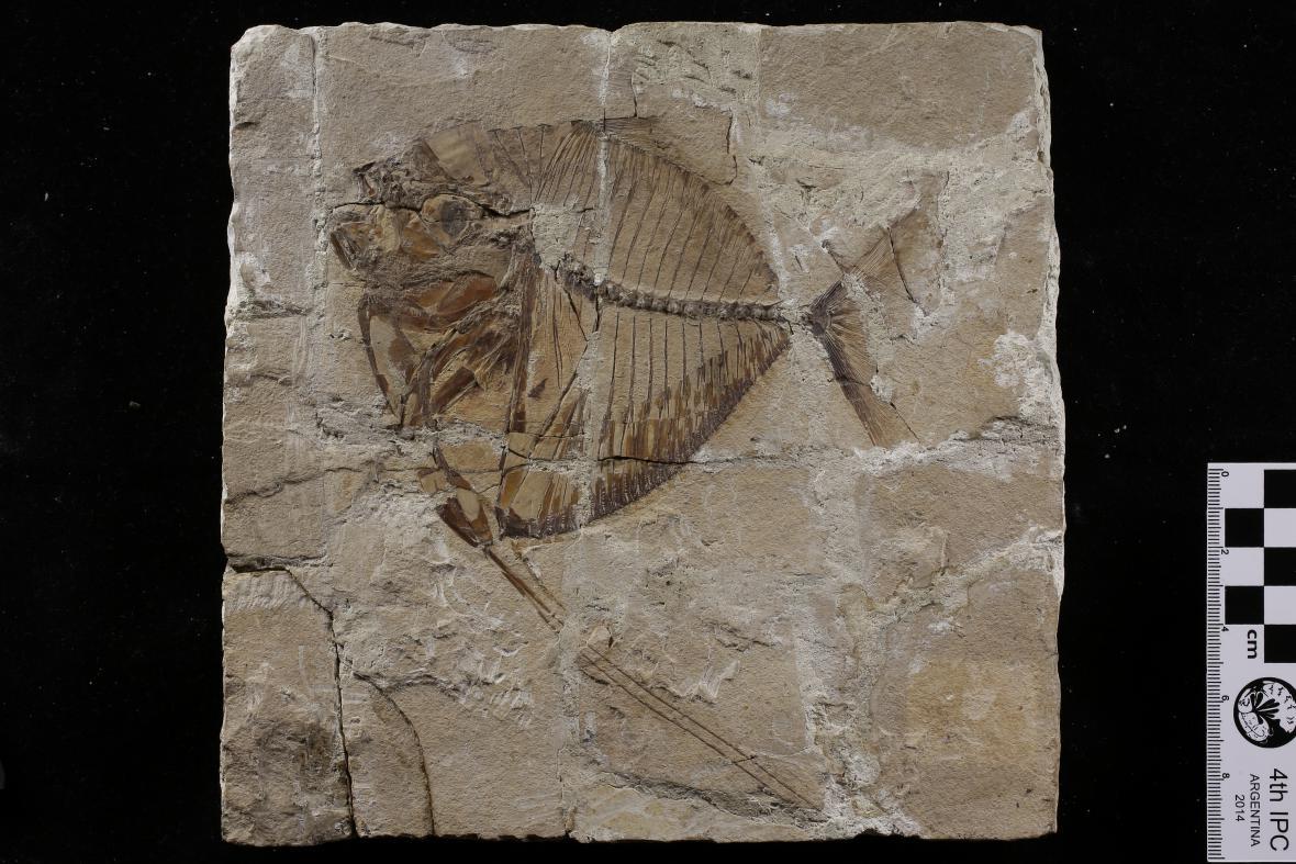 Deskovitý vápenec s rybou rodu Mene