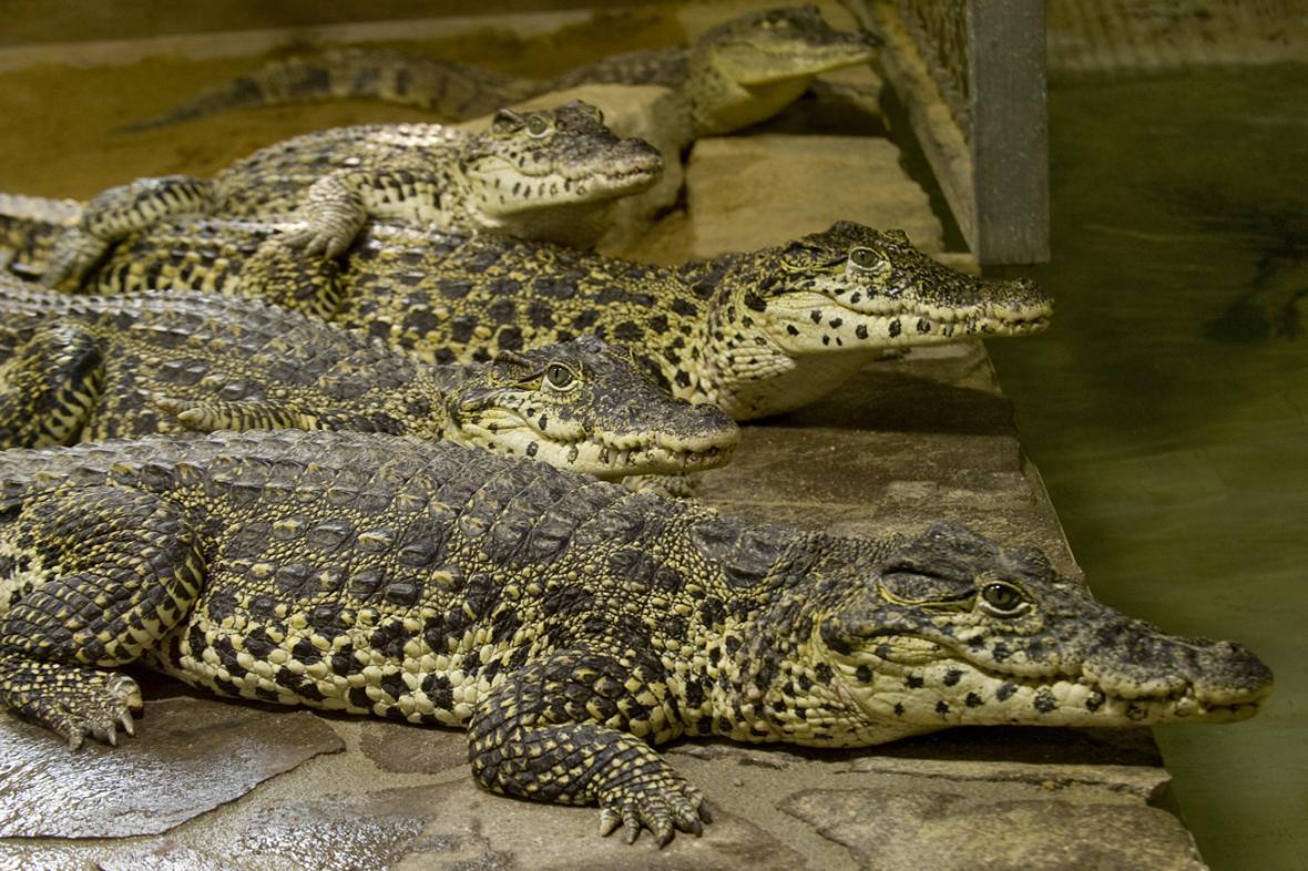 Krokodýl kubánský