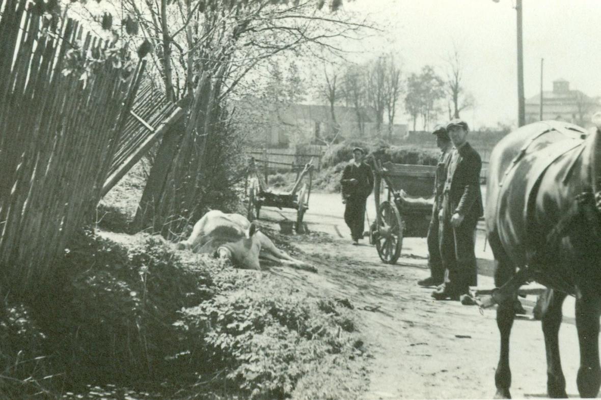 Odklízení uhynulého dobytka po vypálení Leskovic