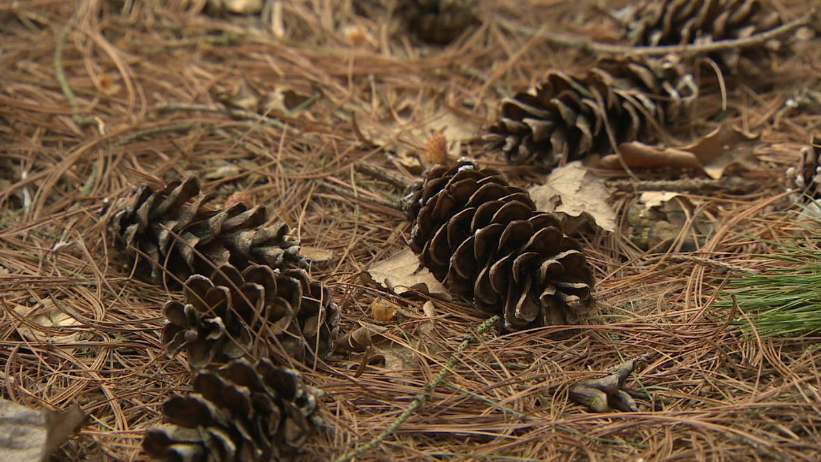 Šišky borovice douglasky