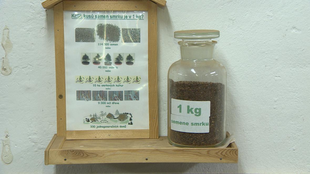 Kilogram smrkových semen vyjde asi na 5000 Kč