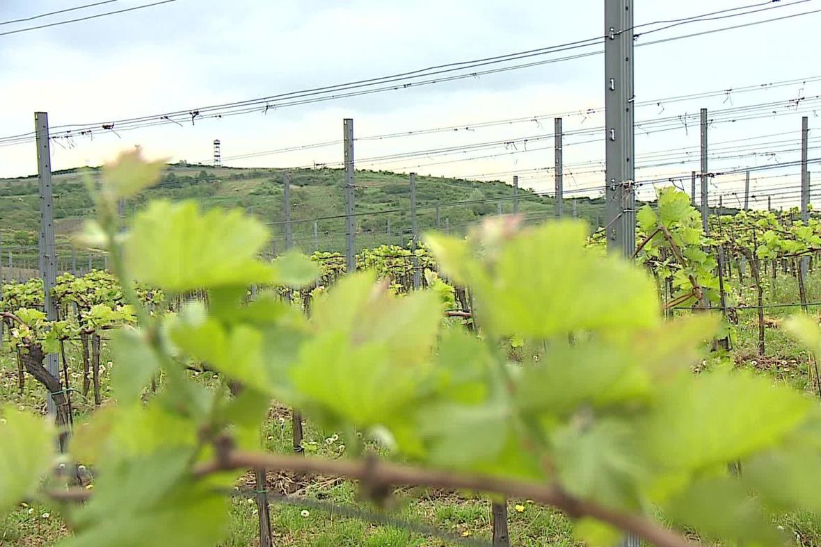 Jižní Morava je známá svými vinicemi