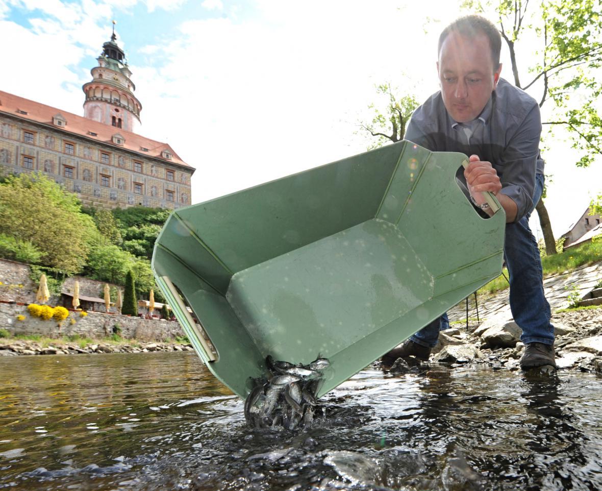Vysazování lipana do Vltavy v Českém Krumlově