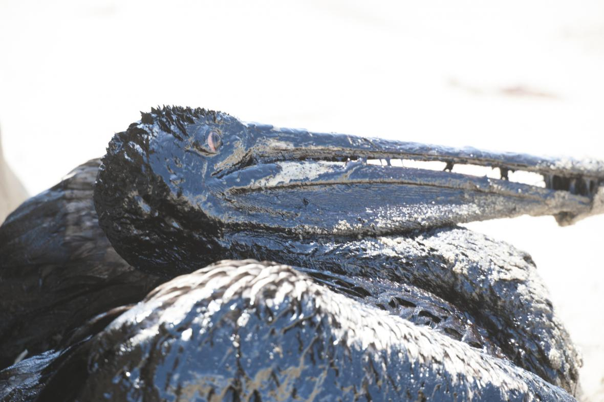 Vrstva ropy na kalifornském pelikánovi
