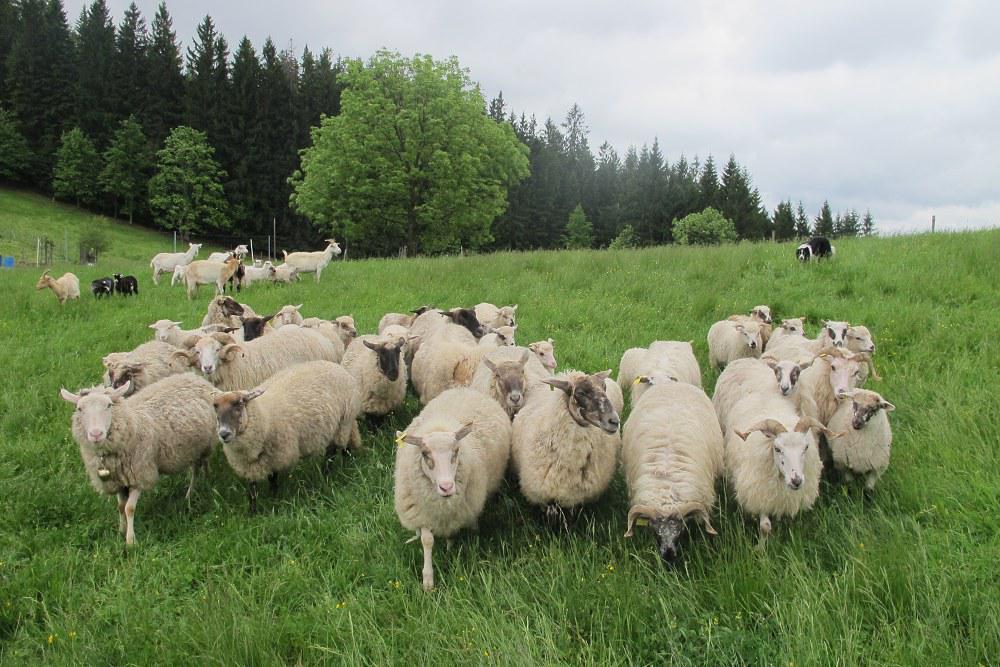 Ovce beskydského chovatele Jiřího Krpeše