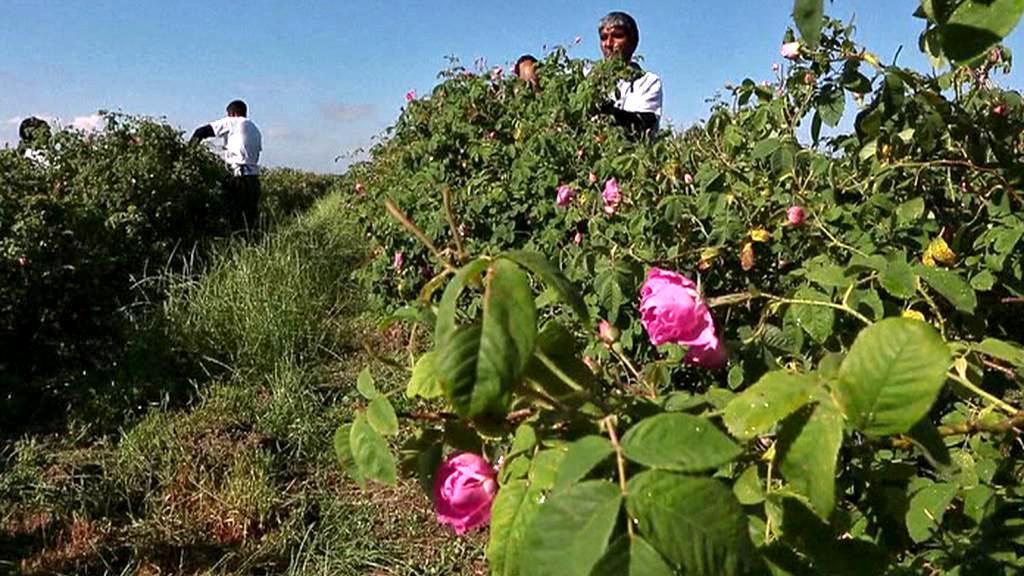 Sklizeň růžových lístků v Bulharsku