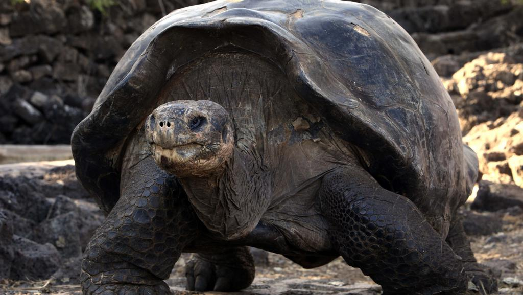 Galapágská želva sloní